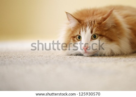 Tabby Cat Relaxing Indoors with Shallow Depth of Field and Space for Text