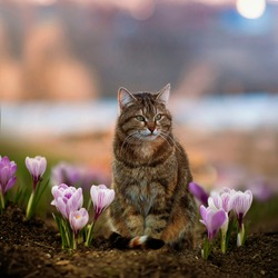 tabby cat sits among beautiful snowdrops crocuses in a spring sunny garden