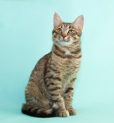 Tabby cat sitting on blue background