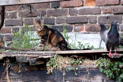 tabby cat sitting on wooden fence and doves