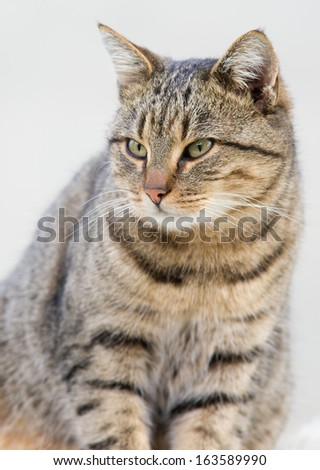 Tabby cat sitting with bent tail in studio