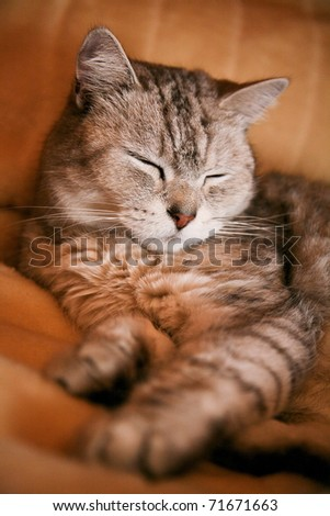 Tabby cat sleeping on the sofa