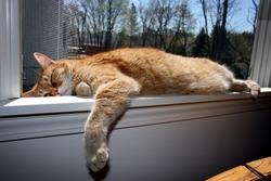 Tabby Cat Sleeping on Window Ledge