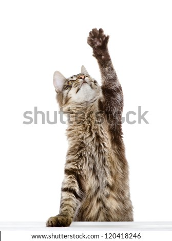 tabby cat swinging its paw. isolated on white background