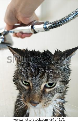 Tabby cat taking a bath in a bathtub