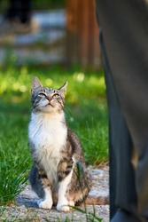 Tabby Cat waiting for food outdoor