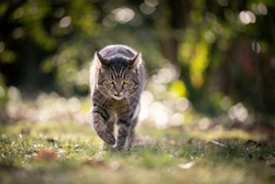 tabby cat walking in sunlight outdoors in nature looking at camera viciously