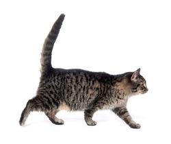 Tabby cat walking on white background