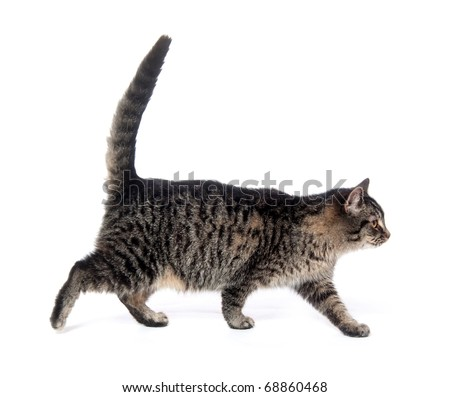 Tabby cat walking on white background