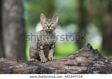 tabby devon rex kitten sitting on a tree Foto d'archivio ©