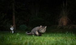 tabby domestic shorthair cat on the prowl outdoors at night. Another cat in the background is watching.