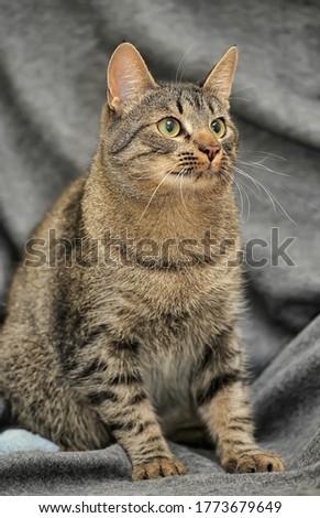 tabby European Shorthair cat close up