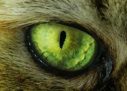 tabby evil cat macro green eye