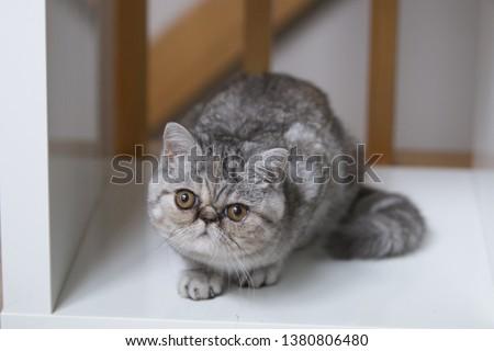 Exotic shorthair cat grey