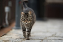 tabby feral cat with notched ear walking along the cobblestone street