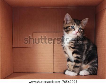 Tabby kitten in a cardboard box