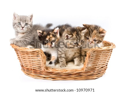 Tabby kitten isolated on white background