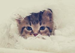 tabby kitten looks