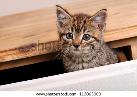 Tabby kitten sat in drawer