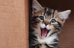 Tabby kitten smiling