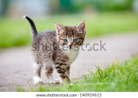 tabby kitten walking outdoors