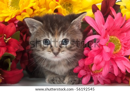 Tabby kitten with colorful flowers on white background