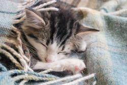 tabby kitten wrapped in wool blanket