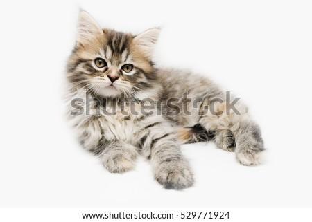 Tabby Maine Coon kitten #529771924