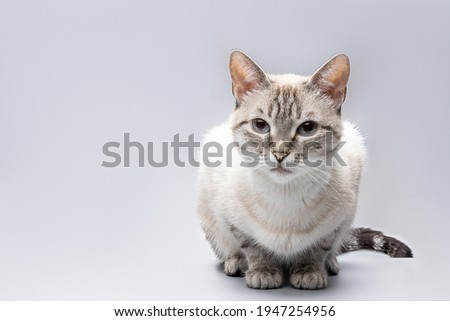tabby siamese cat portrait isolated over grey background. cat waiting for feed cut out. Stock photo ©