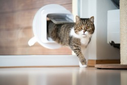 tabby white british shorthair cat coming home entering room through cat flap in window looking at camera