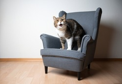 tabby white british shorthair cat standing on small gray ears armchair looking at camera meowing with open mouth in front of white wall with copy space