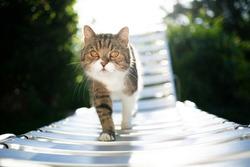tabby white british shorthair cat walking on sun lounger in sunlight