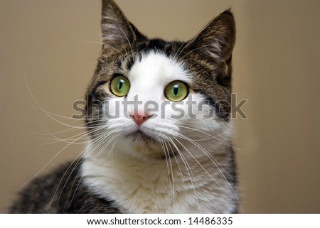Tabby with white cat and bright green with yellow eyes looking. Head shot on beige like background
