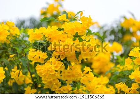 Tabebuia Aurea are blooming fully.  Beautiful yellow of Tabebuia Aurea. Paraguayan silver trumpet tree. Stockfoto ©