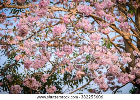 Tabebuia rosea is a pink flower neotropical tree common name pink tabebuia rosea is a pink flower neotropical tree common name pink trumpet tree pink mightylinksfo