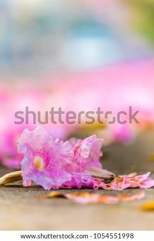 Tabebuia sweet pink flower blooming in Chiang Rai-Thailand.  #1054551998