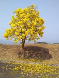 Tabebuya flowers and the shadow of yellow tree