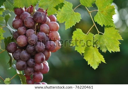 Table grapes on the vine
