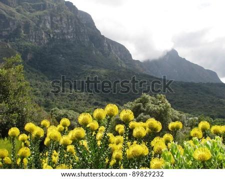 Table Mountain and proeas in the Kirstenbosch Botanical garden