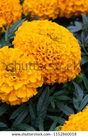 Tagetes erecta Cheerleader Orange