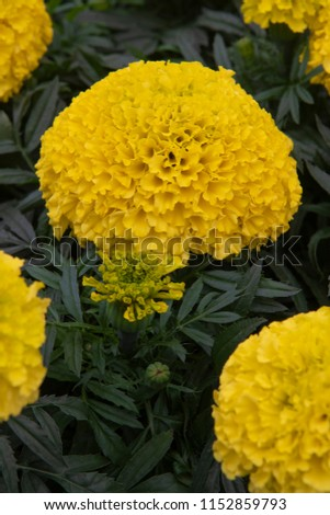 Tagetes erecta Cheerleader Yellow