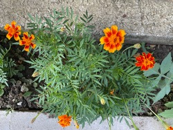 Tagetes erecta, the Mexican marigold or Aztec marigold, is a species of flowering plant in the genus Tagetes native to Mexico. Despite its being native to the Americas, it is called African marigold.