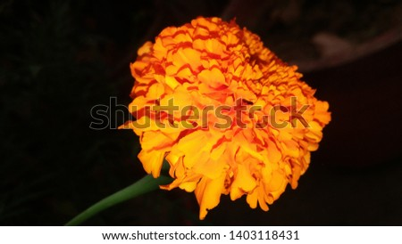 """Tagetes erecta, the Mexican marigold or Aztec marigold, """"marigold"""", or """"Mary's gold"""" is a beautiful yellow orange colour flower in india #1403118431"""