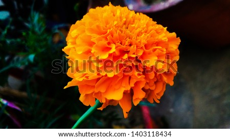 """Tagetes erecta, the Mexican marigold or Aztec marigold, """"marigold"""", or """"Mary's gold"""" is a beautiful yellow orange colour flower in india #1403118434"""