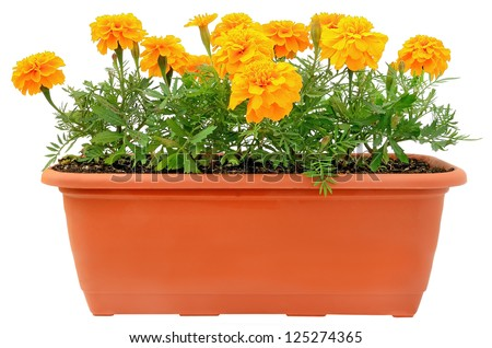 Tagetes flowers in balcony flowerpot isolated on white background