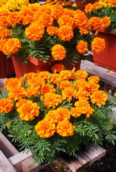 Tagetes patula french marigold in bloom, orange yellow flowers, green leaves, pot plant