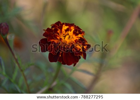 Tagetes species vary in size from 0.1 to 2.2 m tall. Most species have pinnate green leaves. Blooms naturally occur in golden, orange, yellow, and white colors, often with maroon highlights.  Foto stock ©