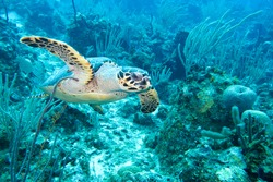 Tagged Sea Turtle in the Reef