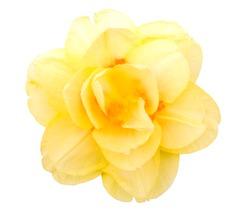 Tahiti Narcissus. Yellow flower head.Daffodil.