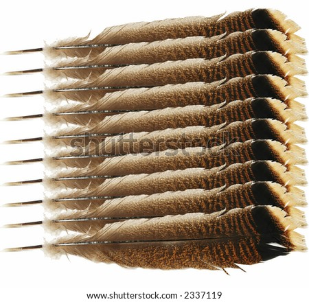 Turkey Tail Feathers Clip Art Tail feather of a wild turkey